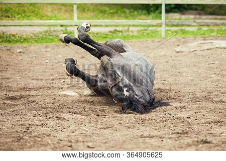 Black Horse Rolling In The Sand. Black Horse On The Sand