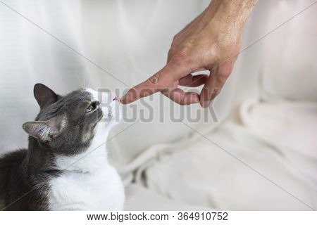 A White Gray Adult Pampered Angry Cat Looking To The Human Hand On White Background. Family Pet. Emo