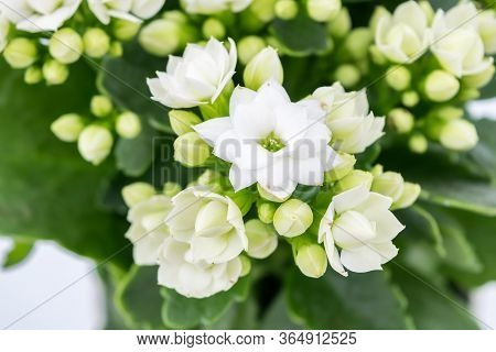 Flaming Katy Plant With White Flowers In A Pot Isolated On White Background - Close Up