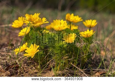 The First Spring Flowers In The Forest, A Bright Yellow Bush Of Spring Adonis With Green Carved Foli