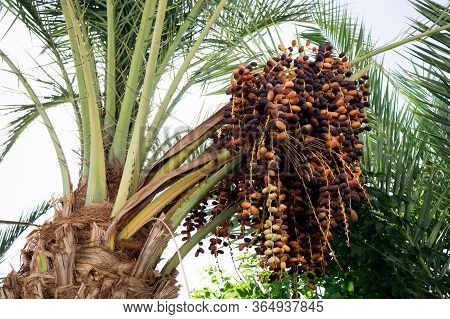 Date Palm With Bunches Of Dates Closeup.