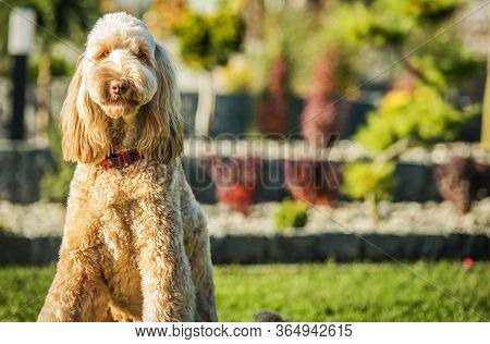 Cute Obediant Goldendoodle Crossbreed Sitting Patiently On Green Grass In Backyard Area Of Residence