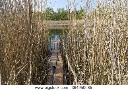 Overflow Land. Old Homemade Wooden Bridge For Fishing, Among The Reeds, On A Quiet River. Summer Lan