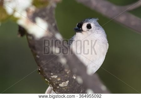 Alert Tufted Titmouse Perched In A Tree