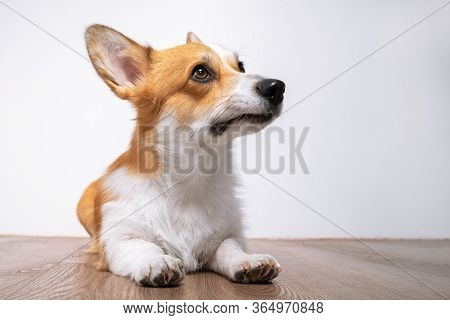 Sad Obedient Welsh Corgi Pembroke Or Cardigan Lies On The Floor And Looks Up, Copy Space, Front View