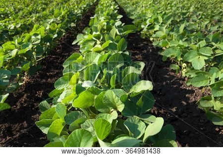 Agricultural Field With Soybean Crops. Young Soy Plants Grow In Rows.