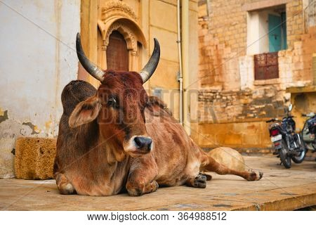 Indian cow resting sleeping in the street. Cow is a sacred animal in India. Jasialmer fort, Rajasthan, India