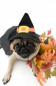 Pug Dressed up as Witch Perfect for Halloween. poster