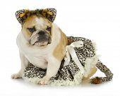 dog dressed like a cat - english bulldog wearing cat costume on white background poster