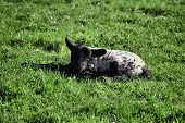 A young black and white lamb laying in a field. poster