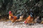 roosters in the yard ** Note: Slight blurriness, best at smaller sizes poster