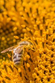Honey Bee Covered With Yellow Pollen Collecting Sunflower Nectar. Animal Sitting At Summer Sun Flowe