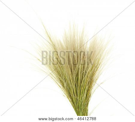 Feather Grass or Needle Grass, Nassella tenuissima isolated on white poster