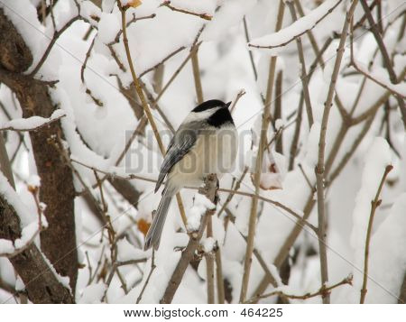 a black-capped chickadee perched on a bush branch after a snow storm. poster