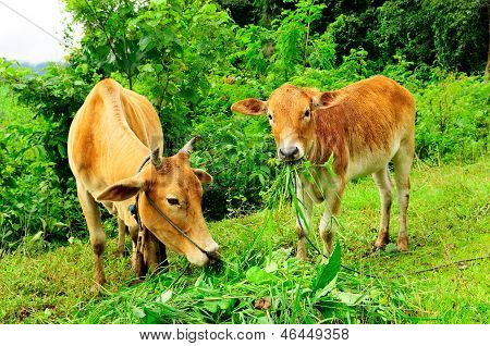 Two Cows On Pasture