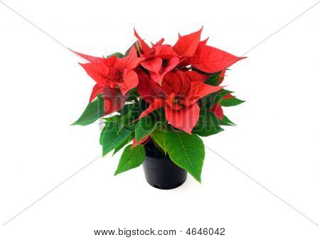 Poinsetta In Pot