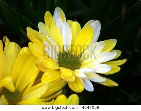 Multi-color Daisy