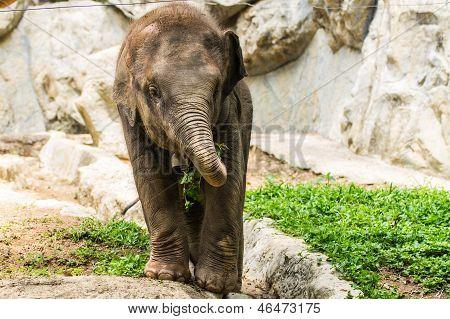 Baby Elephant In Chiangmai Zoo , Thailand