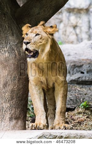Lion In Chiangmai Zoo , Thailand