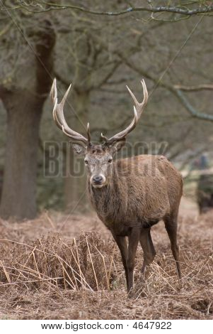 Posing Stag
