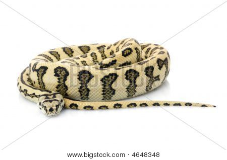 Jaguar Carpet Snake