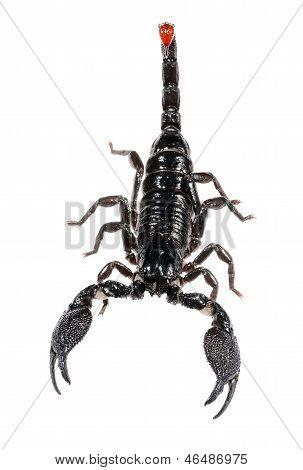 Scorpion Pandinus imperator isolated on white. No shadow