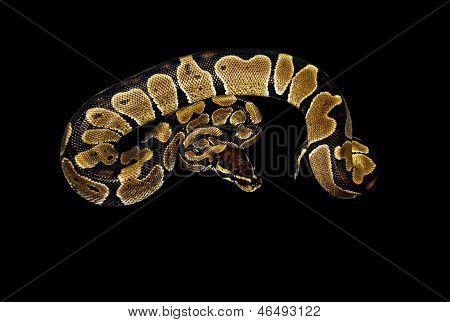 Juvenile Ball Python