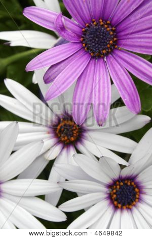 Flowers_purple_white