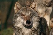 portrait of female a grey wolf watching over her pack poster