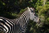 Zebra profile in the late afternon sun poster