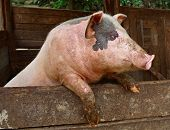 Pork. Pig in the private peasant farm looks out of the pen standing on his hind legs. Pig stands on its hind legs resting on the formwork paddock. Pets on the farm. Meat breeds of domestic animals. Private peasant farm swine-breeding animal husbandry. poster