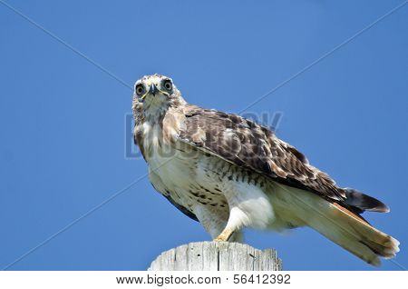 A Mature Red-Tailed Hawk Perched on a Pole poster
