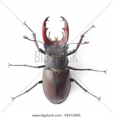 Rhinoceros Beetle Isolated On White