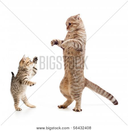 Funny standing kitten and cat