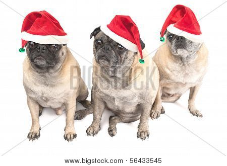 Christmas Pugs Wearing Santa Hats on a White Background