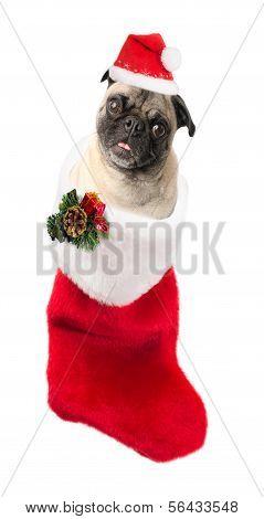 Christmas Pug on a White Background