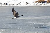 Canada Goose Taking Off From Frozen Lake poster