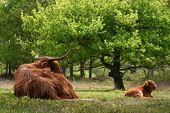 a wild cow with a calf in the forest ** Note: Slight blurriness, best at smaller sizes poster