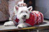 A dog wears a kimono at Nisei week in LA's Little Tokyo on Aug. 15th 2009. Nisei week celebrates Japanese American culture. poster