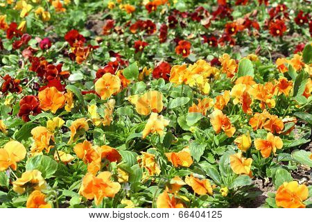 Group Of Red And Orange Pansys