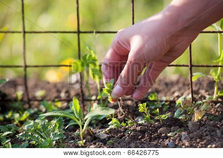 removing weeds by hand in a garden