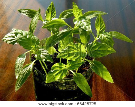 young pepper seedlings growing in plastic container