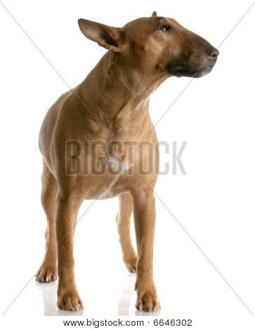 bull terrier female standing on white background - red smut color poster