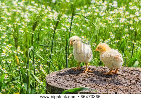 Two chicken on a stump on a background of green meadow with camomiles in a sunny summer day poster