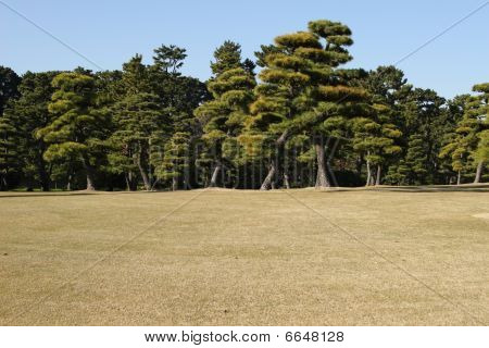 Tokyo park of pine tree under blue sky in fall time poster