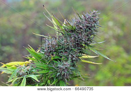 Photo of big marijuana bud at mature stage poster