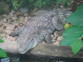 Crocodile photographed at Paignton Zoo in Devon poster