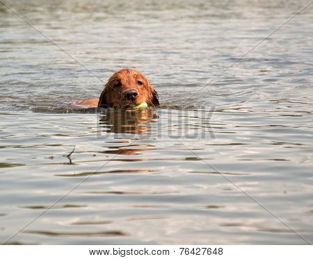 Dog swimming in lake with ball in mouth