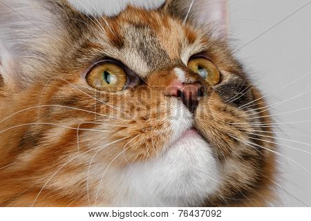 Closeup ginger tortie Maine Coon cat looking up