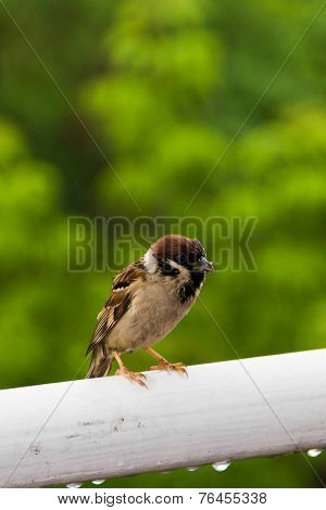 Chipping sparrow perched on branch